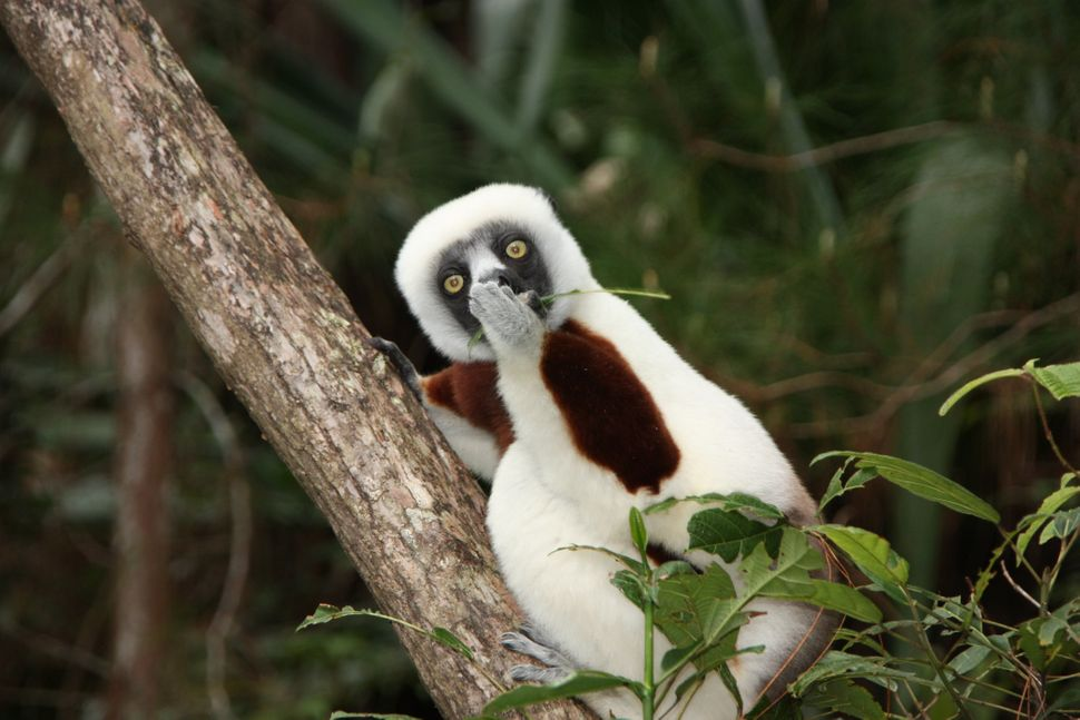 An astonished Lemur in Madagascar.