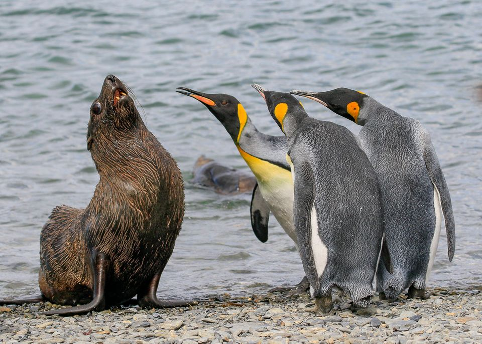King Penguins gang up on a fur seal in South Georgia.