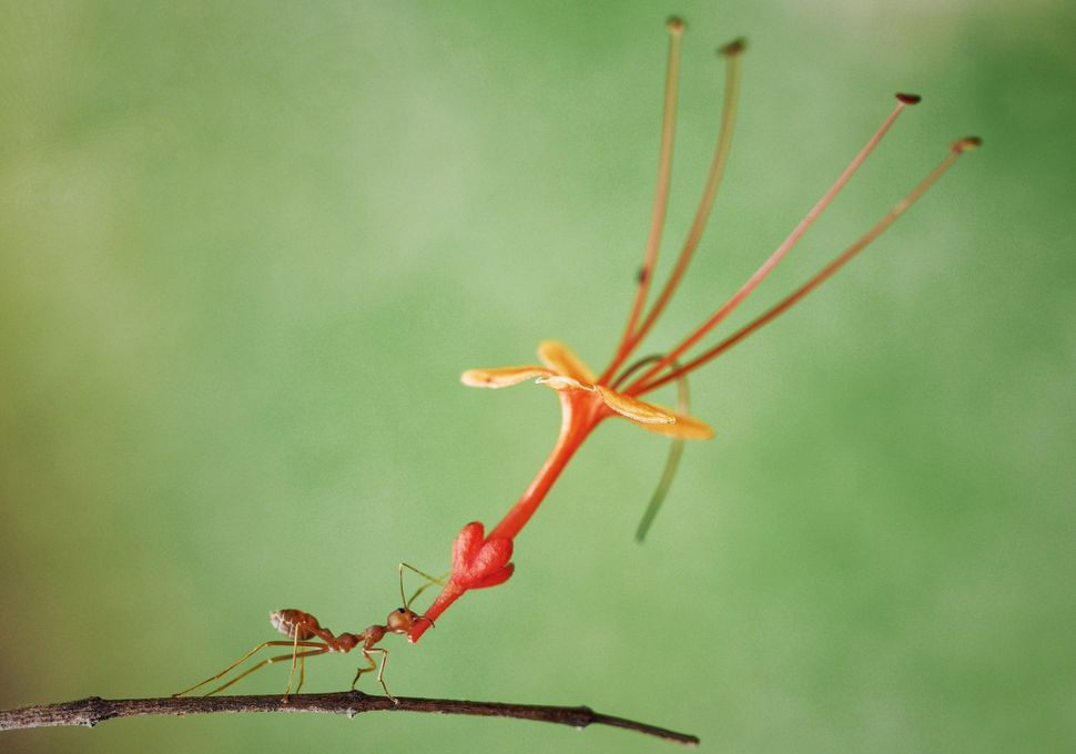 An ant carrying a flower in Batam, Indonesia.