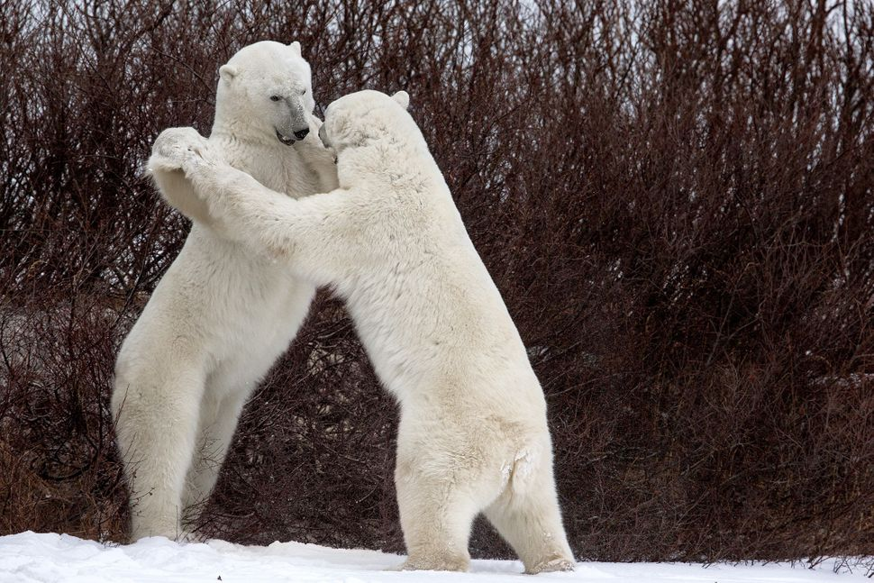 The funny pose assumed by the two bears during their struggle, as if they were practicing a Vienna Waltz in Churchill, Canada
