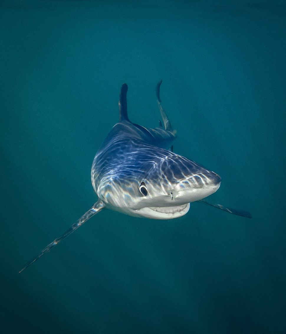 A blue shark smiles for the camera off the coast of Rhode Island.