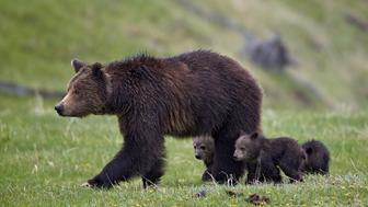 Grizzly bear (Ursus arctos horribilis) sow and three cubs of the year, Yellowstone National Park, Wyoming, United States of America, North America
