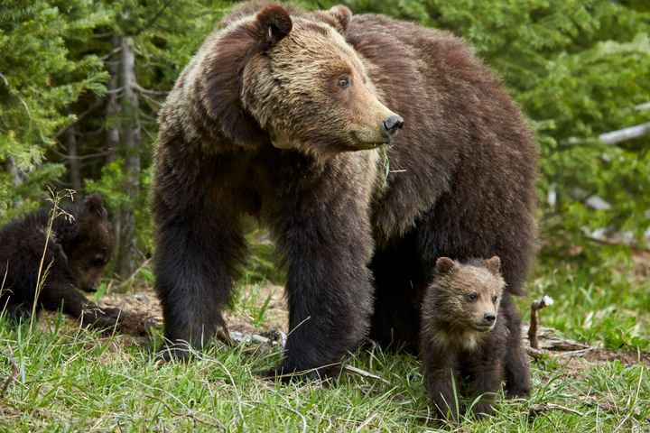 A grizzly bear and cubs at Yellowstone National Park.