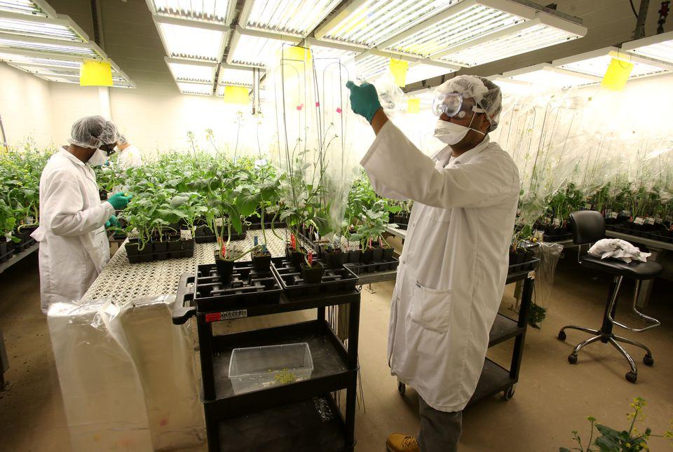 In einem kanadischen Forschungszentrum experimentieren Wissenschaftler für Monsanto mitresistenten...