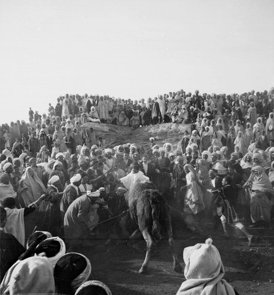 Un combat de chameaux en