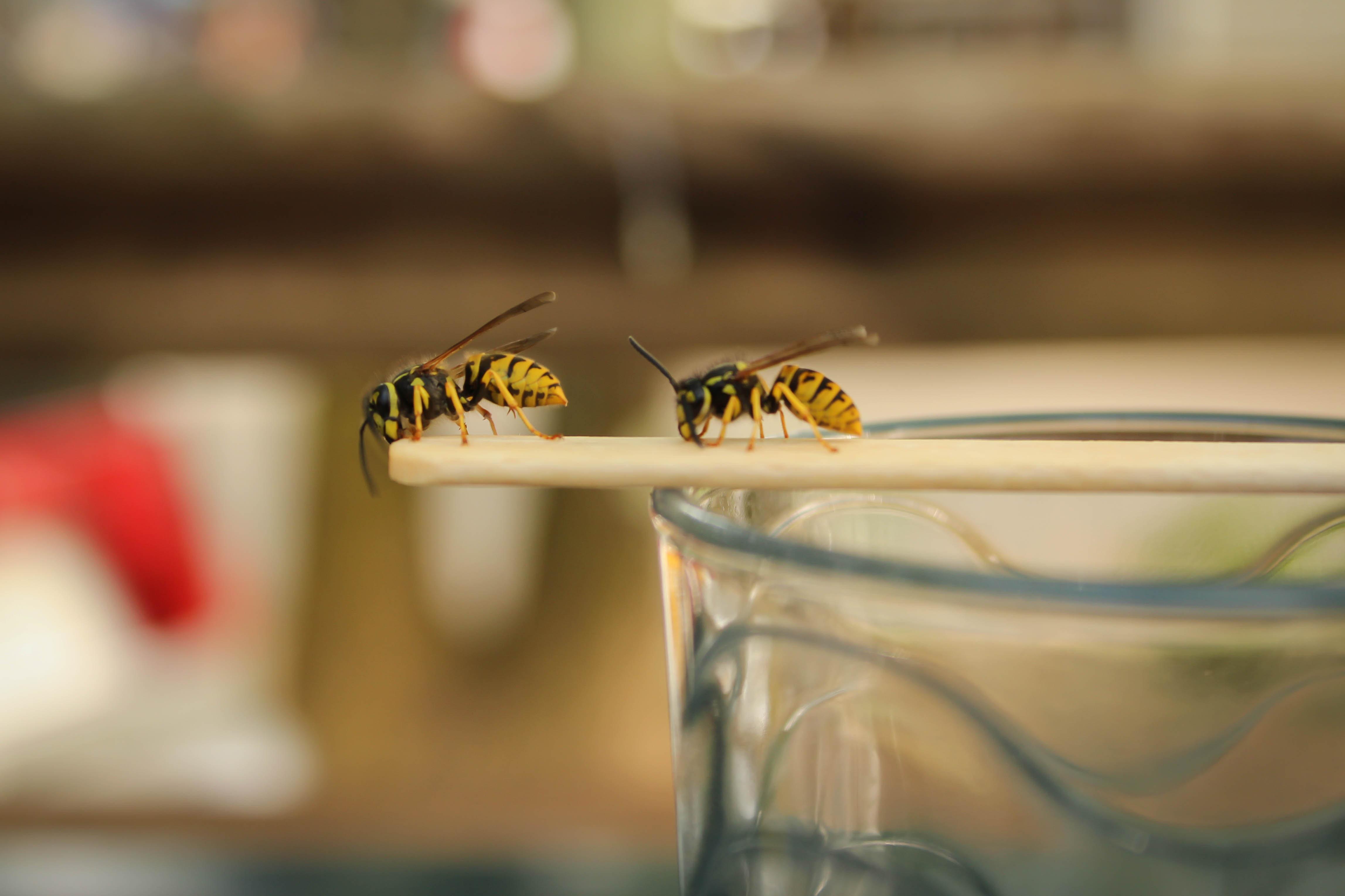 Wespen vertreiben: Das ist das beste Hausmittel gegen die