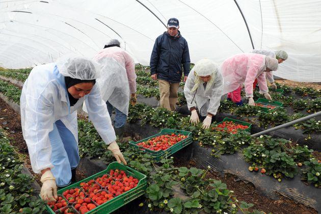 Espagne: Un manager de fermes de fraises arrêté pour abus sexuels envers des ouvrières