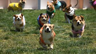 Corgi dogs race during the SoCal 'Corgi Nationals' championship at the Santa Anita Horse Racetrack in Arcadia, California on May 27, 2018. - The event saw hundreds of Corgi dogs compete for the fastest dog title at the 17 race event. (Photo by MARK RALSTON / AFP)        (Photo credit should read MARK RALSTON/AFP/Getty Images)
