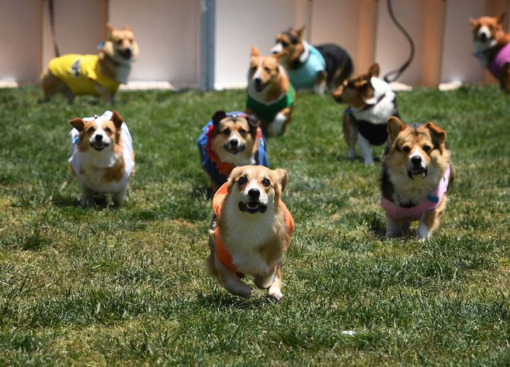 you re not emotionally prepared for these racing corgis huffpost