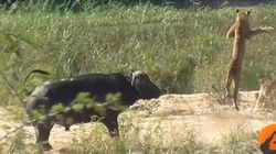 Βουβάλι «εξουδετερώνει» ένα λιοντάρι για τα μάτια μιας