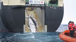 일본이 '연구용'이라며 임신한 밍크고래 122마리