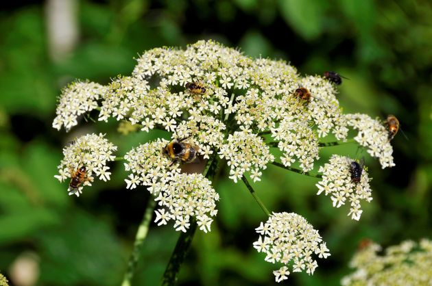Common hogweed is considered less dangerous than giant hogweed - however it can still cause