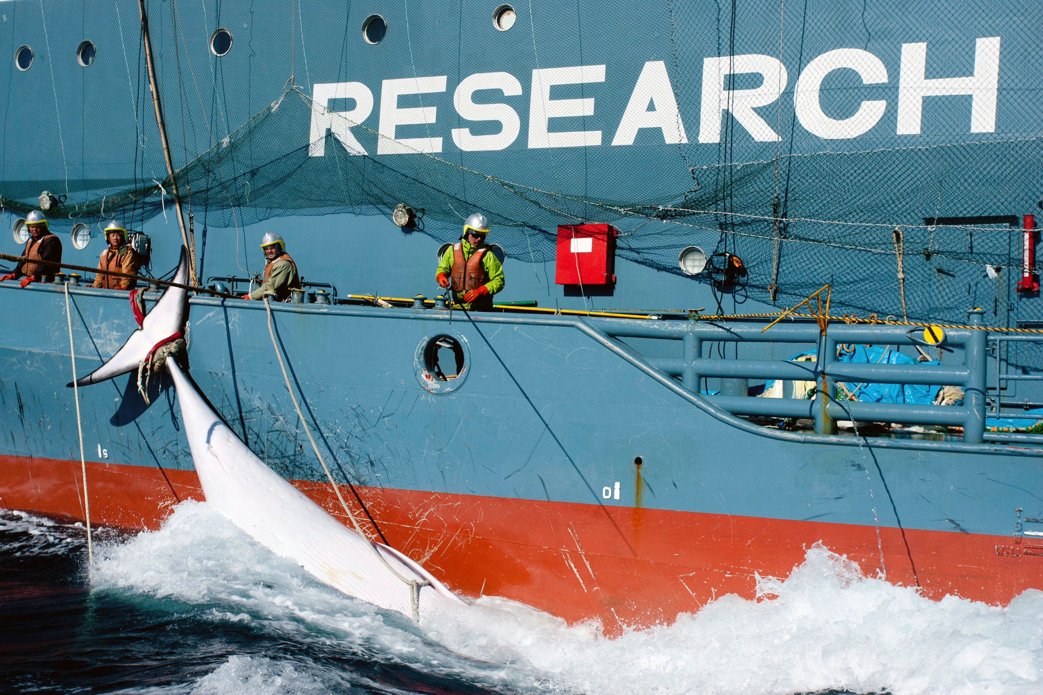 Japan lässt 116 schwangere Wale töten –  die Begründung ist beschämend