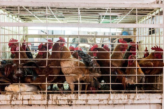 Près de 800 kilos de viandes blanches saisis dans un abattoir clandestin près de