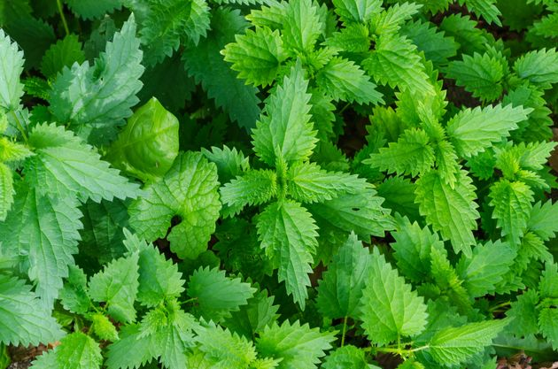 Believe It Or Not There Are Some Garden Weeds You Can Actually
