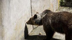 Αρκούδα με τα δύο μικρά της βρήκε καταφύγιο σε αυλή ακατοίκητου σπιτιού στη