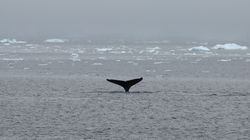 Ιάπωνες σφάγιασαν 122 φάλαινες που ήταν