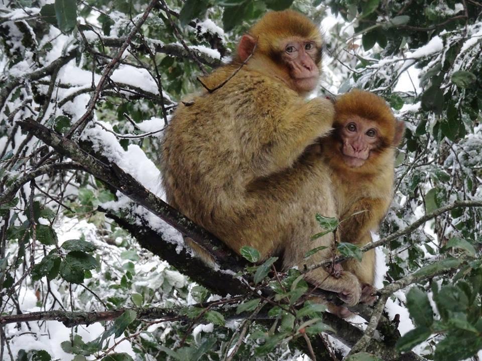 """Les macaques de Barbarie survivent mieux à l'hiver quand ils se """"serrent les coudes"""""""