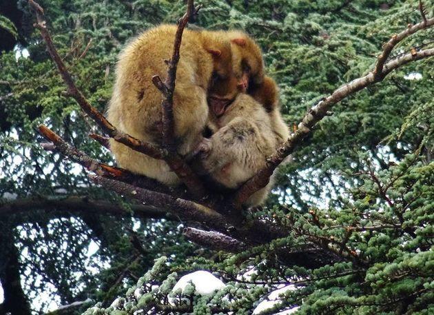 Les macaques de Barbarie survivent mieux à l'hiver quand ils se