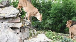 Τσάμπα κλειδαμπαρώθηκαν στα σπίτια τους στη Γερμανία. Λιοντάρια, τίγρεις και πούμα δεν απέδρασαν ποτέ από τον ζωολογικό