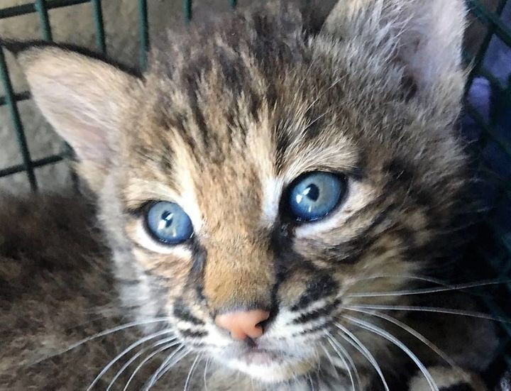 Two bobcat kittens taken in by a Texas woman who says she thought they were domestic cats have died from feline parvovirus.