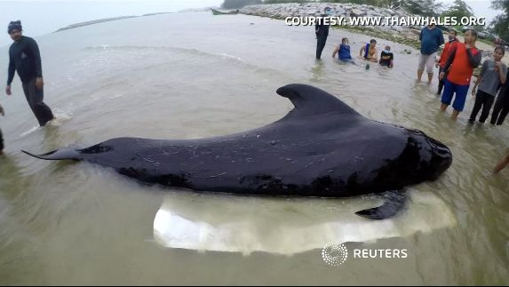 Whale Found In Thailand Dies From Eating Over 80 Plastic