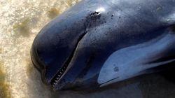 Wal stirbt grausam nach vergeblicher Rettungsaktion – er hatte 8 Kilo Plastikmüll im Bauch