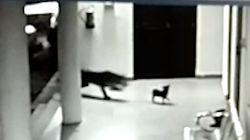 Leopard greift Hundewelpen an – dann zeigt dessen Mutter, was sie drauf