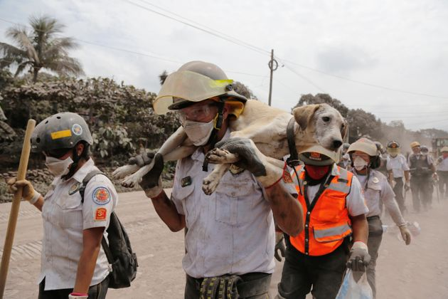 A firefighter carries a rescued dog; ash from Sunday's eruptionsent columns of ash and smoke...