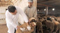 Les moutons marocains autorisés à rejoindre l'Espagne pour l'Aïd
