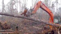 Indonésie: cet orang-outan défie un bulldozer détruisant sa forêt