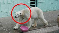 한국의 여름을 몹시 힘들어했던 '에버랜드 북극곰'의