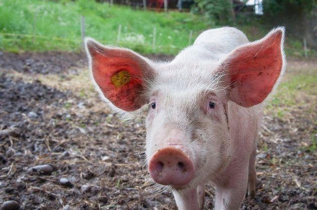 환경에 덜 해로운 돼지 똥이