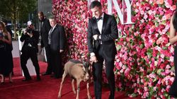 A Goat Walked The Red Carpet At The Tony Awards.
