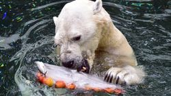 South Korea's Last Polar Bear Heading For Retirement... In