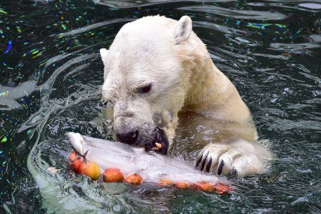 South Korea's Last Polar Bear Heading For Retirement... In