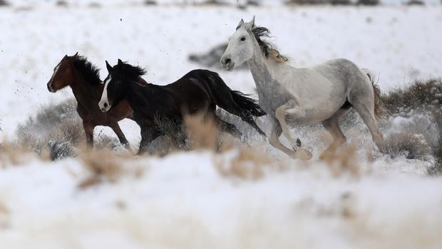"Wild horses attempt to escape being herded into corrals by a helicopter during a Bureau of Land Management round-up outside Milford, Utah, U.S., January 8, 2017. REUTERS/Jim Urquhart          SEARCH ""WILD HORSE"" FOR THIS STORY. SEARCH ""WIDER IMAGE"" FOR ALL STORIES."