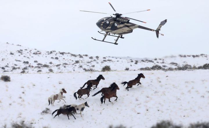 Wild horses are herded into corrals by a helicopter during a BLM round-up outside Milford, Utah in January 2017.