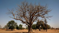 Africa's Ancient Baobab Trees Are Mysteriously