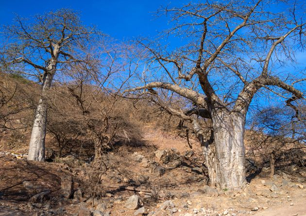 Baobab trees have a wide range of