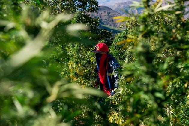 Un agriculteur masqué marche dans un champ de cannabis près de la ville de Ketama, dans...