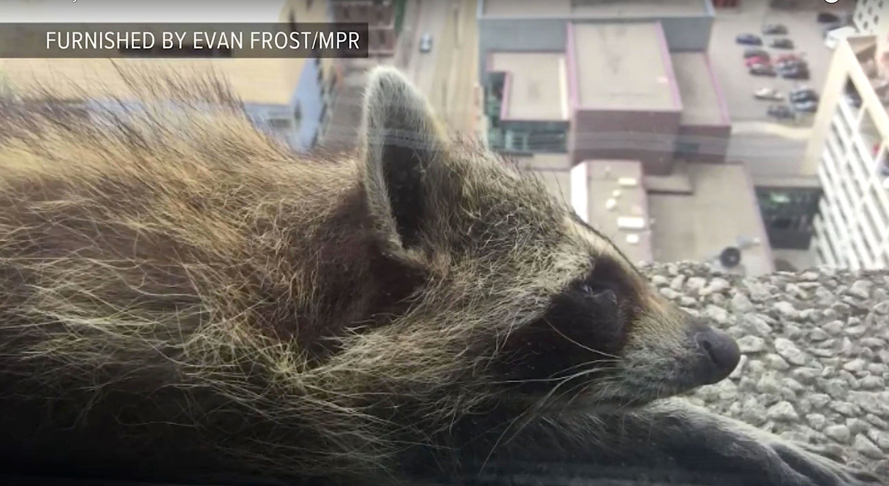 A raccoon scaled a skyscraper in St Paul Minnesota