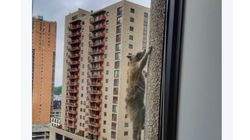 20층 빌딩을 기어오른 라쿤은 너무나