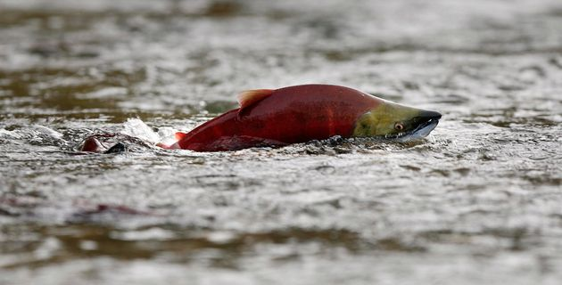 A sockeye salmon scurries through shallow water in the Adams River while preparing to spawn near Chase,...
