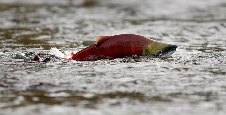 A sockeye salmon scurries through shallow water in the Adams River while preparing to spawn near Chase, British Columbia.&nbs