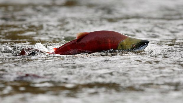 A sockeye salmon scurries through shallow water in the Adams River while preparing to spawn near Chase, British Columbia northeast of Vancouver October 11, 2006. During their journey through inland waters from the Pacific Ocean to the river, some 405 km (252 miles), the sockeye turn a deep red from their silvery-purple color and their head turns green. In the shallow gravel beds, the males and females pair off as they search for nesting areas where they spawn and then die off.  Picture taken October 11, 2006.        REUTERS/Andy Clark (CANADA)