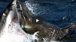 Bίντεο: Μάχη μεταξύ μεγάλων λευκών καρχαριών για ένα κομμάτι