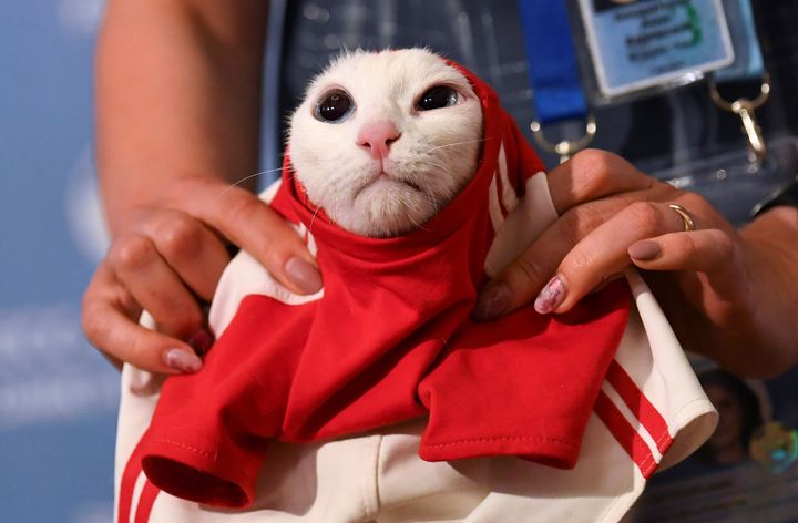 A person puts a shirt resembling a soccer jersey on Achilles the cat.