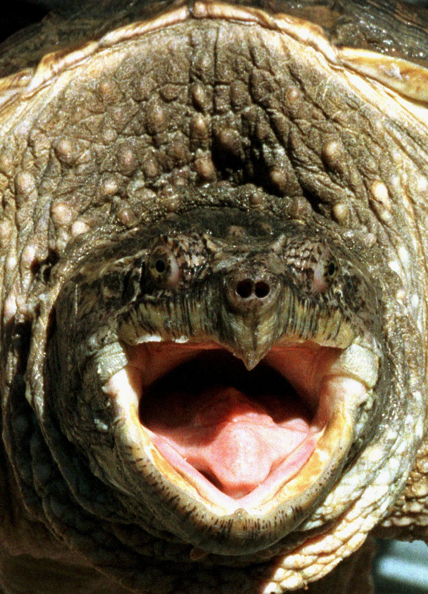 This 55-pound alligator snapping turtle is not the one who ate a finger in Louisiana.