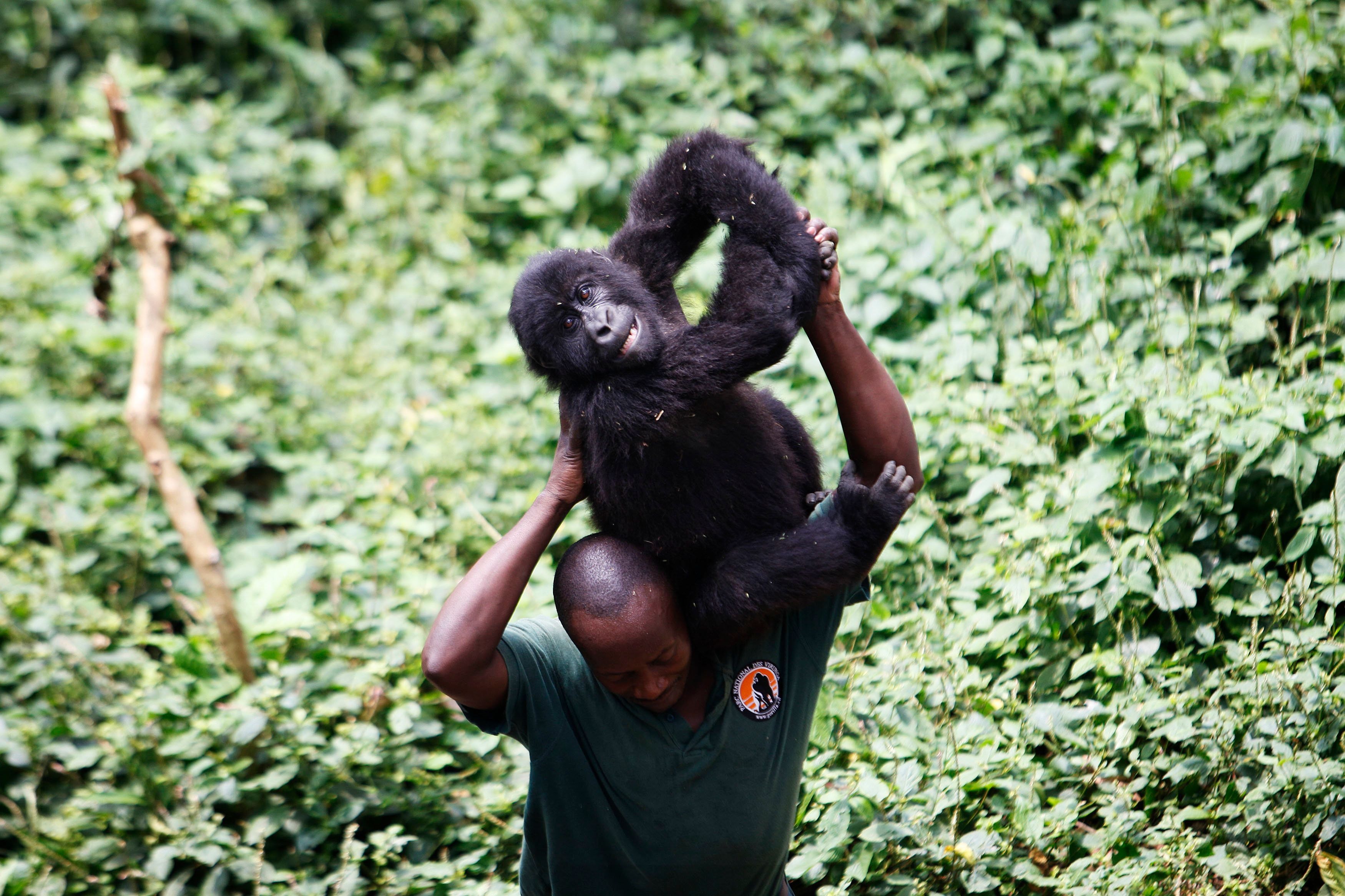 A park ranger carries an orphaned female mountain gorilla at a protected location at Rumungabo in Virunga National Park, just north of the eastern Congolese city of Goma, August 17, 2010. REUTERS/Finbarr O'Reilly (DEMOCRATIC REPUBLIC OF CONGO - Tags: ENVIRONMENT SOCIETY ANIMALS)